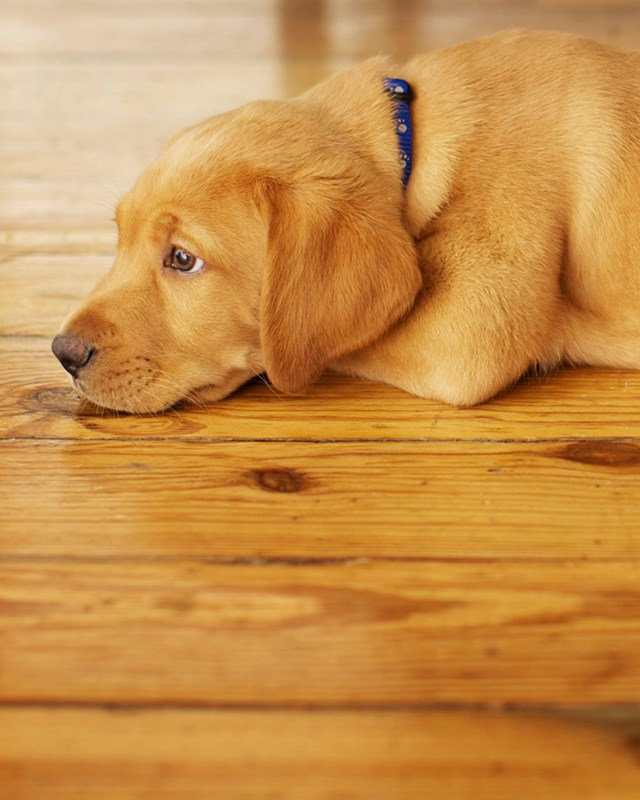 yellow lab puppy laying on wood floor